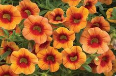 "Dream Kisses Orange Sunset Calibrachoa  Gardening in Vermont - Perennials and Annuals: CALIBRACHOA (AKA ""Million Bells,"" ""Super Bells,"" ""Mini Famous,"" etc.)"