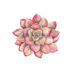 Art Print: Watercolor Colorful Succulent Echeveria Hand-Drawn Illustration in Vintage Style. by Nikiparonak : Succulents Drawing, Watercolor Succulents, Watercolor Flowers, Watercolor Paintings, Succulents Art, Succulents Wallpaper, Indoor Succulents, Propagating Succulents, Planting Succulents