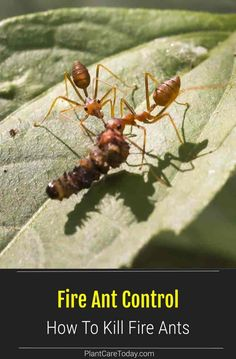 Fire ant control starts with the understanding they migrate rapidly. Treat ant mounds with baits or liquid insecticide sprays or drenches. What To Use, How Do I Get, How To Apply, Kill Fire Ants, Ant Colony, Lawn Care Tips, Garden Pests, Pest Control