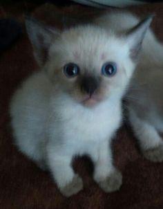 Female Straight-Eared kitten