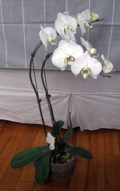 Para iniciarse en el cultivo de orquídeas