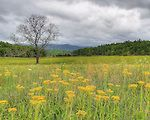 Spring wildflowers carpeting a pasture in Cades Cove under a cloudy sky.