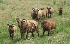 Manx Loaghtan ooien en lammeren, de eerste ooi zelfruiend