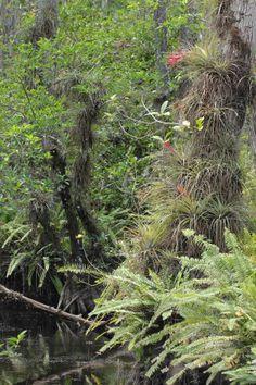 Tillandsias at Big Cypress National Preserve, Florida