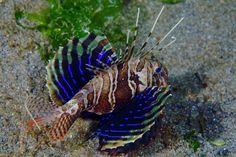 Blackfoot Firefish | Parapterois heterura. Female, displaying the pectoral fins.