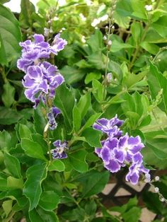 Duranta erecta [Duranta repens]  Pigeon berry, Sky flower, Golden dewdrop  Tiny sweetly scented lavender salverform flower with a white centre, borne on small racemes. A large ornamental shrub or small tree.