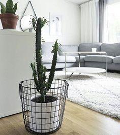 Que tal um vaso diferente para sua casa? Adoro a ideia de usar cestos aramados, de tecidos ou de papéis.  Dão um toque supermoderno e ficam perfeitos para compor a decoração. . . . . Cred: @mynordicroom / @reliib #casadosfundos #cactuslover #cactusmagazine #cactus #cactos #cacti #cactusgram #vaso #plants #plantas #sala #decor #decoracao #casa #apartamento #roomdecor #roomdesign #room #nordicinspiration #scandinaviandesigners #interior #interiores #interiors #home #myhome #homedesign…