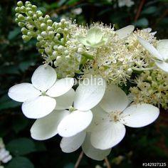 """Pobierz zdjęcie royalty free  """"Białe kwiaty na gałązce"""" autorstwa nataliamatusz w najniższej cenie na Fotolia.com. Przeglądaj naszą bazę tanich obrazów online i odnajdź doskonałe zdjęcie stockowe do Twoich projektów reklamowych!"""