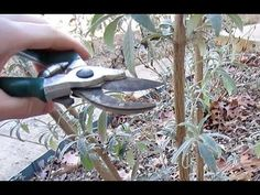 When and How to Prune Butterfly Bushes