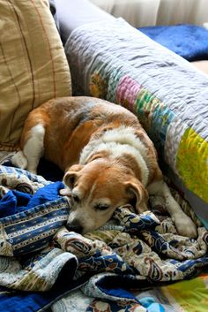 Beagle and Quilts