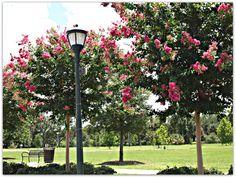 Crepe Myrtles Bloom all Summer in New Orleans