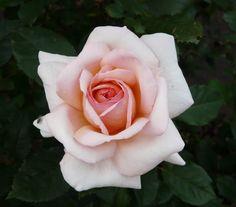 ~Rosa 'Belle du Seigneur ®' © Andrea Moro http://dbiodbs.units.it/carso/chiavi_pub26?spez=22553