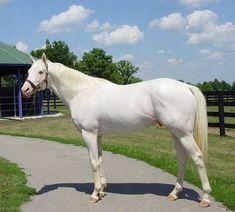 White thoroughbred horse