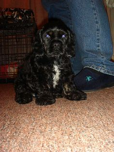 Our new puppy Melody, American cocker spaniel, via Flickr.