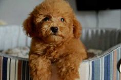 Chocolate Toy Poodle & Toy Poodle & Brown Teddy Bear Look & Poodle Dog Source by vickieflanagan The post Chocolate Toy Poodle Dog Breeds That Dont Shed, Cute Dogs Breeds, Teddy Bear Puppies, Cute Teddy Bears, Bear Dogs, Poodle Puppies For Sale, Cute Puppies, Adorable Dogs, Adorable Animals