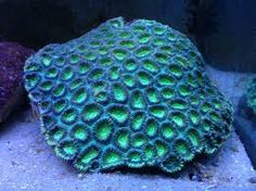 Favia Species - Green Moon Coral for sale in Melbourne Underwater Music, Underwater World, Marine Aquarium, Saltwater Aquarium, Corals For Sale, Brain Coral, Green Moon, Coral Pattern, Body Adornment