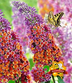 Landscaping With Rocks - How You Can Use Rocks Thoroughly Within Your Landscape Style Buddleia Flower Power 3 Liter Potted Plant Pair Of All Flowers, Flowers Nature, Amazing Flowers, Outdoor Plants, Garden Plants, Buddleja Davidii, Natural Farming, Flower Pictures, Gardens
