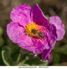 Honey bee on a big flower