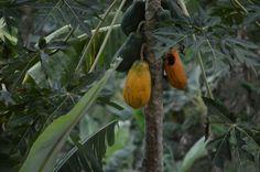 Lechoza o Papaya...