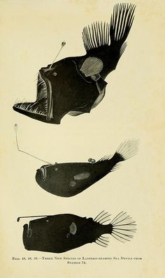 from 'the arctarus adventure' 1926, deep sea angler fish, zoological illustration.