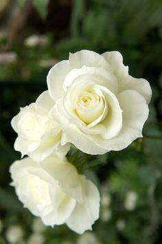 White arrow / Floribunda Rose by Kikuo Teranishi Cut Flowers, Pretty Flowers, White Flowers, Red Roses, Peonies, Tulips, Ronsard Rose, Rose Orange, Moon Garden