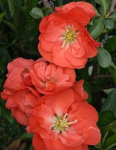 Double Take™ Chaenomeles 'Orange Storm' Ppaf - Flowering Quince - Proven Winners, Orange