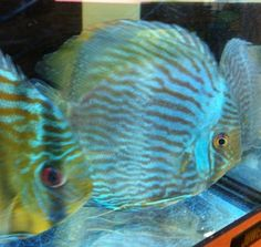 "Wild Discus Heckle Tropical Fish 5-6"" Cichlid Beautiful Rare at Aquarist Classifieds"