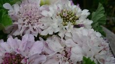 Wedding Bouquet - just scabious and geranium foliage