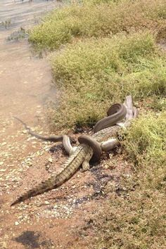 Somehow, the snake managed to swallow the entire crocodile whole.