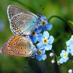 Butterflies blue cornflower