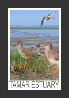 Redshank on the Tamar Estuary, Devon (Art Print)