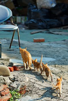 Orange tabby cat and kittens - walking