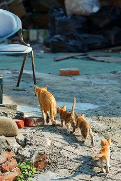 Orange tabby cat and kittens - walking