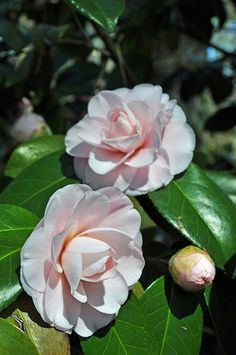Camellia japonica - Japanese Camellia, Spring Blooming Camellia    Japonicas have larger, smoother edged leaf than sasanqua's, winter bloomer, larger flowers, many petals with formal bloom, more spreading, upright in stature, likes dappled shade, full shade