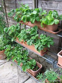 Growing strawberries in window boxes by richardsemmens, via Flickr - might try this idea