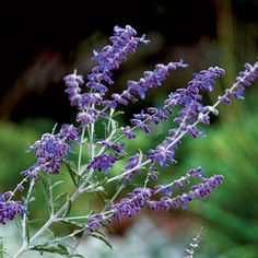 Russian sage - Top 10 Plants for Seaside Gardens - Coastal Living