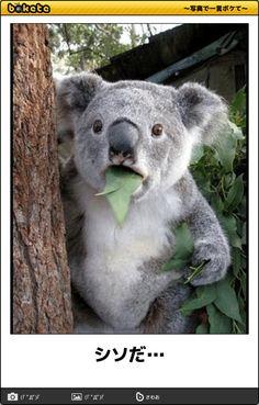 Koala cant believe it - Koala Funny - Funny Koala meme - - Huh?to ten arty st a ma obj ad :::DJ.pier_one k::: :::radio 4 all-fines::: The post Koala cant believe it appeared first on Gag Dad. Koala Meme, Funny Koala, Funny Animal Memes, Dog Memes, Funny Animals, Cute Animals, Funny Dogs, Humour Wtf, Funny Humor