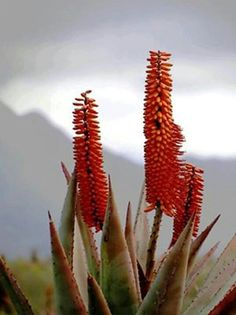 Klein Karoo African Plants, African Flowers, Cacti, Cactus Plants, Painting Trees, Plant Images, Desert Plants, Art Pictures, Wood Art