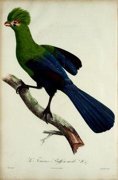 Histoire naturelle des promerops, et des guêpiers : - Biodiversity Heritage Library