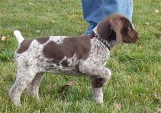 German Shorthaired Pointer puppy already on point---adorable. #germanshorthairedpointerpuppy