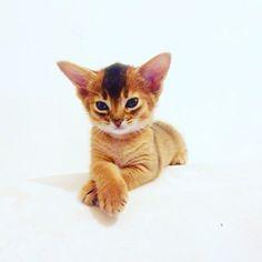 Именинница🎂😺🐾 photo by @artycattery #aby #abycat #abylove #abyssinian #abyssiniankitten #cat #cute #cattery #catinsta #catstagram #ruddy  #instacat #instakitten #petstagram #superkitten #chincha #firestar #kitty #kitten #funnycat #аби #абик #абиссинская #абиссинскаякошка #itsallaboutme  #itsallaboutcat #koteykaclub