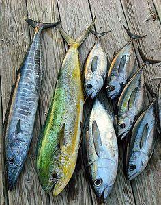 Wahoo, Mahi, and Blackfin Tuna caught a 4 hour Charter