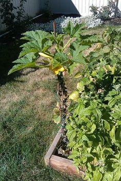 Growing Zucchini Vertically!