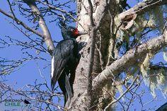 Magellanic Woodpecker / Carpintero Negro / Campephilus magellanicus | Flickr - Photo Sharing!