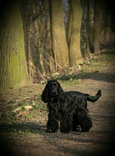 Cocker Spaniel, Animals And Pets, Dogs, Pets, Pet Dogs, Doggies