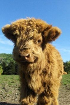 Funny pictures about A baby highland cow. Oh, and cool pics about A baby highland cow. Also, A baby highland cow photos. Fluffy Cows, Fluffy Animals, Cute Baby Animals, Animals And Pets, Wild Animals, Fluffy Puff, Animal Babies, Baby Highland Cow, Cow Photos