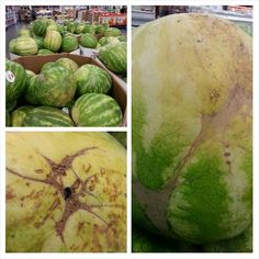 "Here's the real deal on picking the sweetest Watermelon: 1. Make sure it has a prominent yellow spot. This is where it sat on the ground ripening. No spot = premature pick = not ripe. 2. Look for ""webbing"". This is the brown, course web looking materiel. This is caused when bees pollinate the flower and scar the membranes that later forms the fruit. The more pollination = more webbing = sweeter fruit. 3. Look for black hard globs seeping out. This is sugar not insects or rotting."