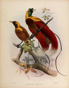 Scientific Illustration | wapiti3:    A monograph of the Paradiseidae or...