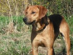 Harry is an adoptable Hound Dog in Hot Springs, AR. Beginning November 3, Harry will be coming to the Hot Springs Farmer's Market to meet his new family.  He hasn't met his forever family YET but is r...