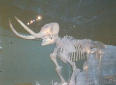 This fully-intact skeleton of a female mastodon, or Mammut americanum, was found in Canton in 1970 during excavations for a construction project. Between 12,000 and 15,000 years ago, the mastodon apparently wandered into a glacial bog and was quickly submerged.  She is on display in Discover World at the McKinley Presidential Library & Museum.